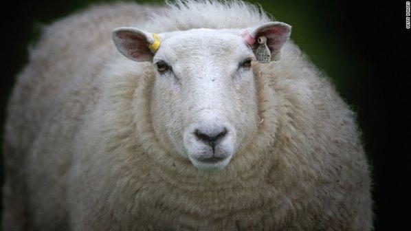 اینترنت گوسفندان!