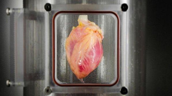 رشد یک قلب تپنده با سلولهای بنیادی امکانپذیر شد