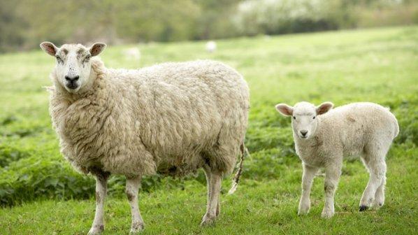 هوش مصنوعی از روی چهره گوسفندان زمان درد کشیدن آنها را تشخیص میدهد