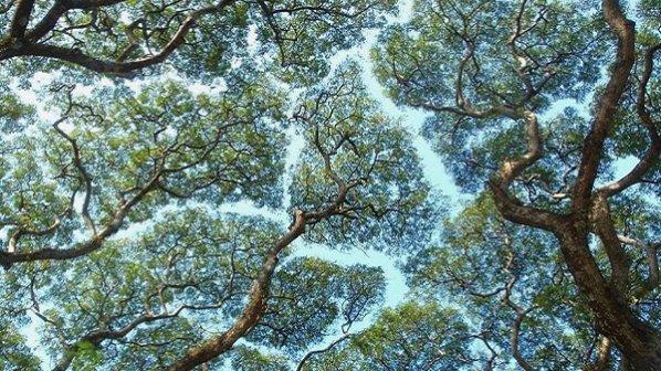 """گالری عکس: """"تاج شرم"""" پدیدهای عجیب و جذاب در بالاترین قسمت جنگل!"""