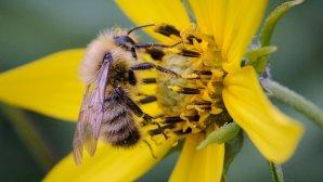 کمکرسانی پهبادهای گردهافشان به زنبورهای عسل